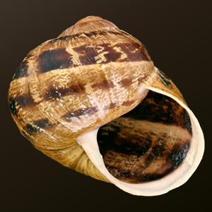 sniglar representativa arter